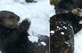 Ištirpdys net ir kiečiausias širdis: jūrinės ūdros lipdė sniego gniūžtes