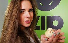ZIP FM studijoje išsirito viščiukai