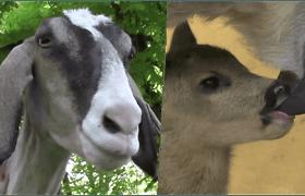 Neįtikėtinas ryšys: ožka Roza tapo mama pasimetusiam stirniukui