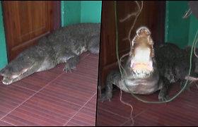 Šeimininkas per plauką išvengė užpuolimo – prie namo durų ilsėjosi krokodilas