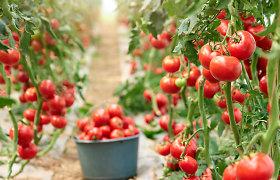 Laikas sėti pomidorus ir auginti daigus: kokius rinktis ir ką reikia žinoti apie hibridines veisles