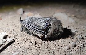 Karantino metu žmonės plūsta į saugomas teritorijas: po jų apsilankymo šikšnosparniai randami ir negyvi