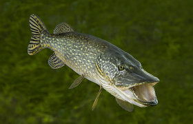 Mėgstamiausios Baltijos šalių gyventojų žuvys netrukus gali patekti į nykstančių rūšių raudonąjį sąrašą