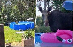 Norvegijos lietuvio kieme baseiną okupavo netikėti svečiai – briedė su jaunikliais