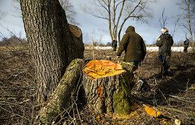 Rusnėje – aistros dėl iškirstų medžių: tyrimą atliekantys aplinkosaugininkai jau suskaičiavo tūkstančius kelmų