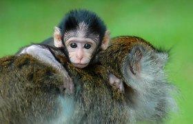 Beždžionės gerina virškinimą ėsdamos purvą