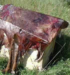 Brakonierių išdavė ant avilio padžiautas elnio kailis ir iš puodo styrantis ragas