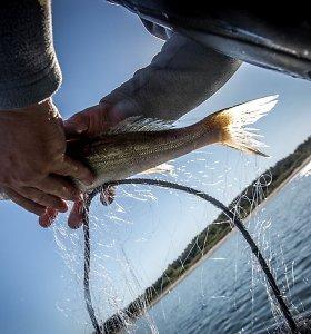 Kuršių mariose žuvų nemažėja, bet nyksta sterkai, žiobriai ir kuojos