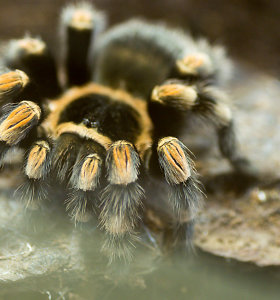 Vorų baimę galima tiesiog išpjauti iš smegenų