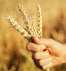 Rusija gerina kviečių derliaus prognozę