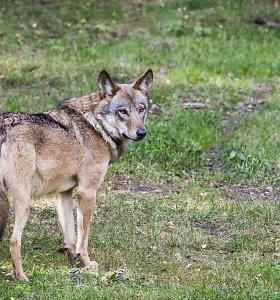 Vilkai puola gyvulius net prie namų