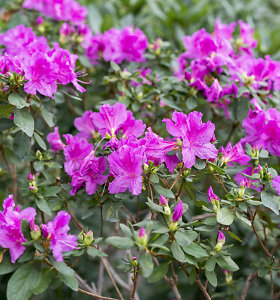 """""""100 augalų"""" savaitės apžvalga: kaip auginti įspūdinguosius rododendrus?"""