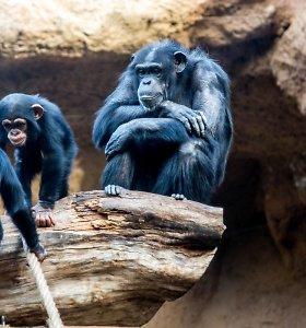 Belfasto zoologijos sode iš aptvaro pabėgusios šimpanzės vaikštinėjo tarp lankytojų