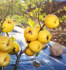Vietoj citrinų – svarainiai. Kokiomis naudingomis savybėmis jie pasižymi?