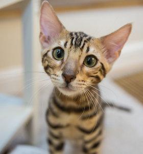 Natalijos Bunkės namuose apsigyveno Bengalijos katinas Maiklas