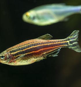 Kodėl žuvų tinklainė regeneruotis gali, o žmonių – ne, nors visi mechanizmai yra?