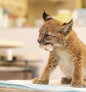 Kauno gyvūnų globėjų rankose neįprastas mažylis – trijų mėnesių lūšiukas