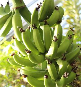 Kretingos žiemos sode ėmė nokti bananai
