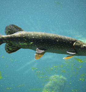 Nuo šeštadienio leidžiama žvejoti lydekas