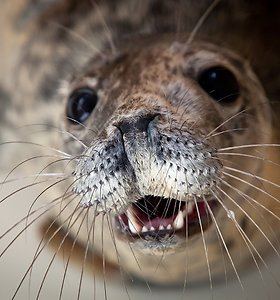Į Baltijos jūrą išleidžiami dvylika išgydytų ruonių