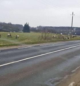 Vilniaus rajone lakstantys arkliai trypia pasėlius, gąsdina vairuotojus: institucijos – bejėgės
