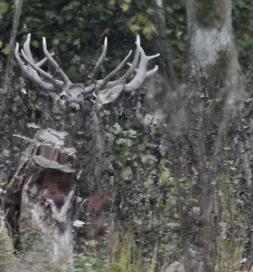 Miškas per elnių rują: garsas, kuriame telpa visa gamtos didybė