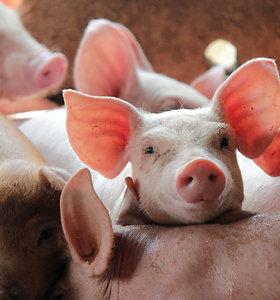 Maras aukų nesirenka: naminių kiaulių gaištamumas – 100 proc.