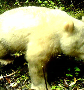 Dar niekas niekada nebuvo jos matęs: pirmą kartą nufotografuota ypač reta albinosinė panda