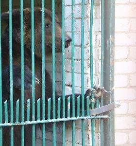 N.Zobovo meška iš zoologijos sodo išvežama į meškų rezervatą Vokietijoje
