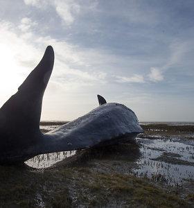 Neregėto masto tragedija: žuvo 1000 banginių, Škotijos ir Airijos krantus nuklojo gaišenos