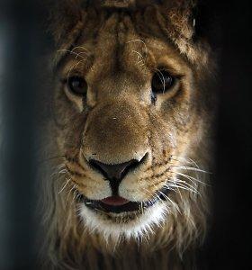 Pietų Afrikos Respublikoje pabėgusiam liūtui atidėtas mirties nuosprendis