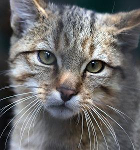 Tarptautinę kačių dieną Lietuvos zoologijos sodas kviečia susipažinti su miškinėmis katėmis
