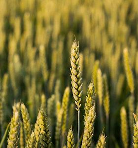 Dėl prasto javų derliaus didės mėsos bei kitų maisto produktų kainos