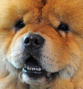 Čiau čiau: minkšti liūtai, laikomi vienais pavojingiausių šunų