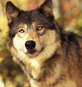 Būsimą sezoną siūloma leisti sumedžioti 120 vilkų