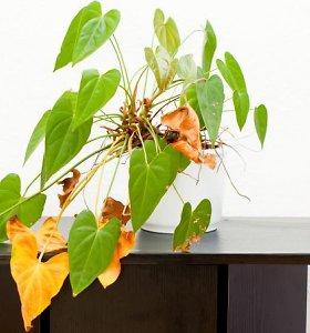 Kaip išgelbėti kambarinius augalus, kurių lapai geltonuoja