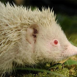 Albinosas