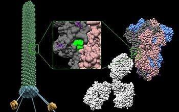 Christopher Markosian/Daniela Staquicini/Rutgerso vėžio institutas/Šiame paveikslėlyje fago dalelėje matoma SARS-CoV-2 smaigalio baltymo sritis