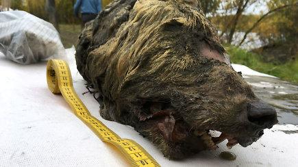 Sibire – sensacingas atradimas: rasta pirmoji pasaulyje puikiai išsilaikusi prieš 40 tūkst. m. nutraukta vilko galva