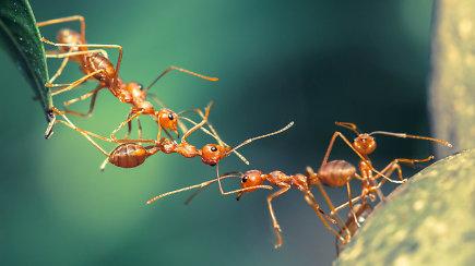 Skruzdėlių augintojas Augustinas: skruzdėlės yra labai protinga civilizacija