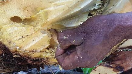 Pamatykite, kaip palmėje ieškomi valgomi vikšrai