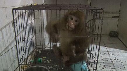 Sužeistą beždžionę išgelbėjęs vyras sulaukė netikėtos žinios – tai itin saugomas gyvūnas