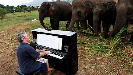 Sužeistiems drambliams taikoma nepaprasta reabilitacija: britas juos ramina grodamas pianinu