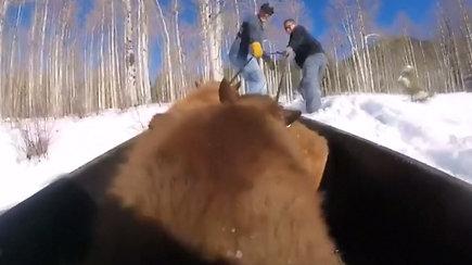 Netekę mamų snaudžiantys lokiukai rogėmis nutempti į žiemos miegui skirtą urvą