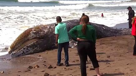 Stiprus pūvančio kūno dvokas sudomino gyventojus – pakrantėje rado išmestą banginio karkasą