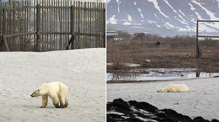 Sibire grėsmę kelia klaidžiojantis alkanas baltasis lokys – gyventojus sujaudino patelės būklė
