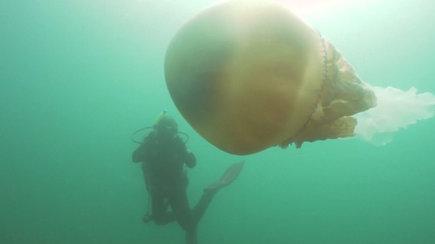 Jūros gelmėse biologę pribloškė žmogaus dydžio būtybė – dar niekada nebuvo to mačiusi