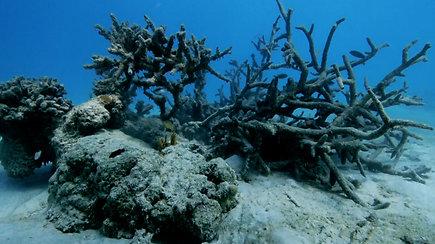 Samoa salose drastiškai nyksta koralų rifai – liko mažiau nei 10 proc.