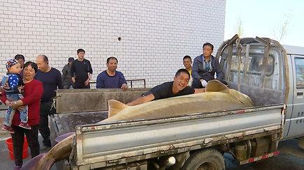 Neįtikėtinas laimikis: Heilongdzinago upėje žvejys pagavo 514 kg sveriantį daūrinį eršketą