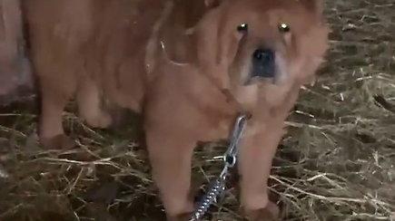 Deimantė Guobytė Alaviniškių kaime rado tvarte supančiotus šunis